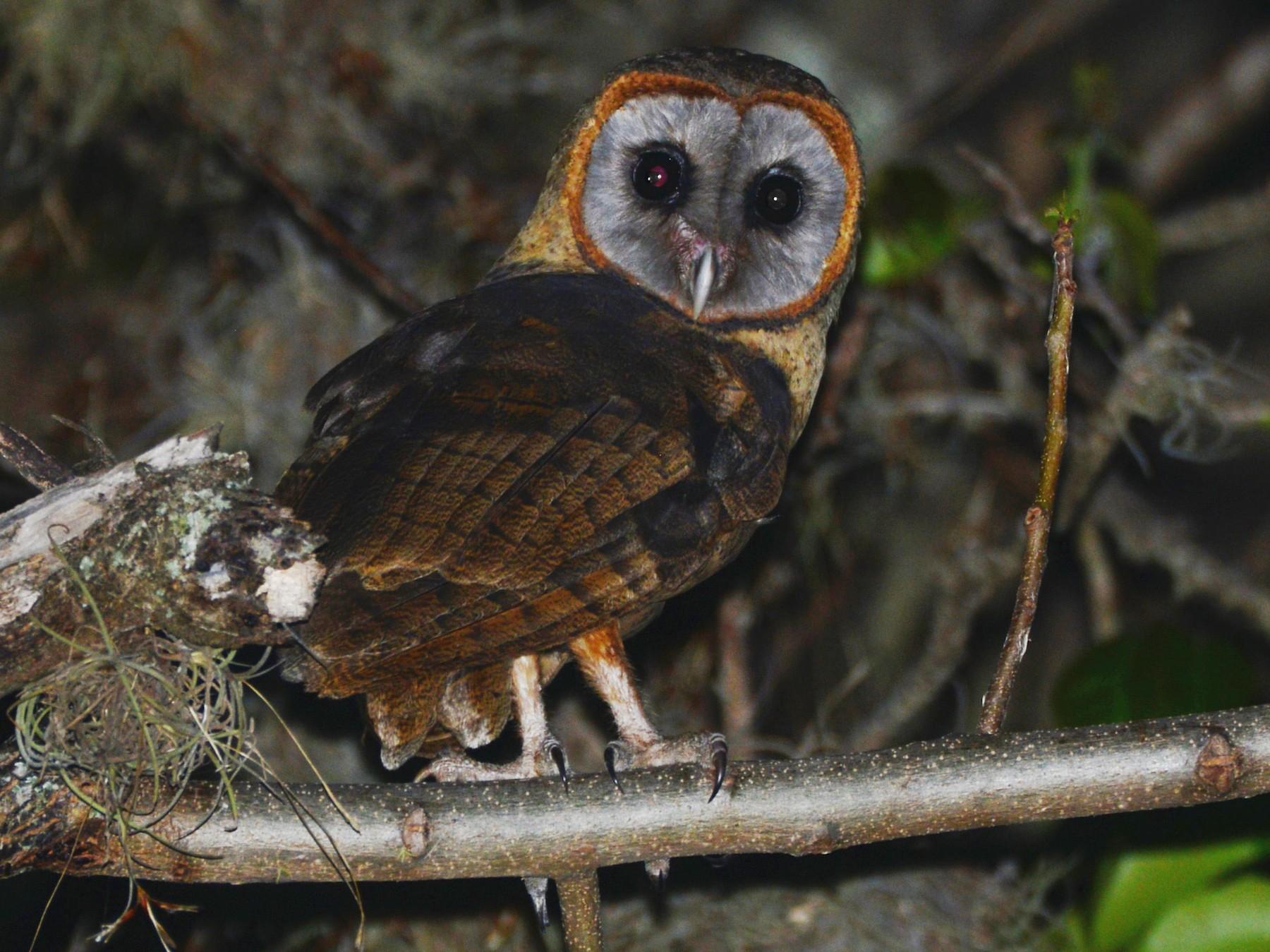 Ashy-faced Owl - Alan Van Norman