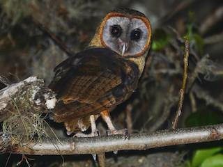- Ashy-faced Owl
