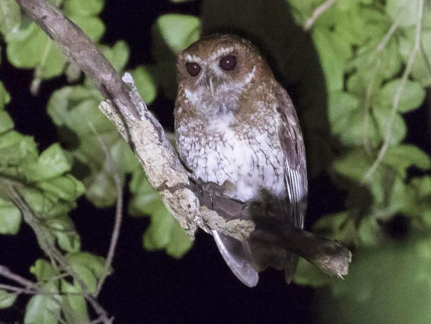 Puerto Rican Screech-Owl - Michael Todd