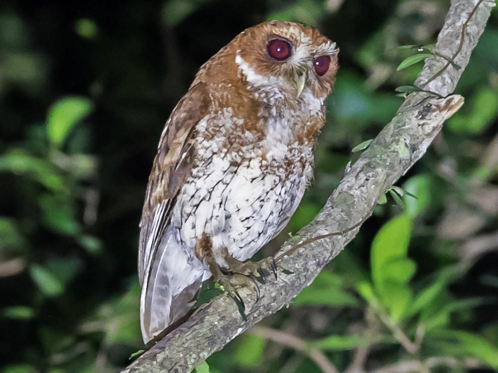 Puerto Rican Screech-Owl - Christopher Sloan