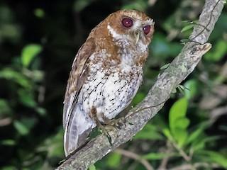 - Puerto Rican Screech-Owl