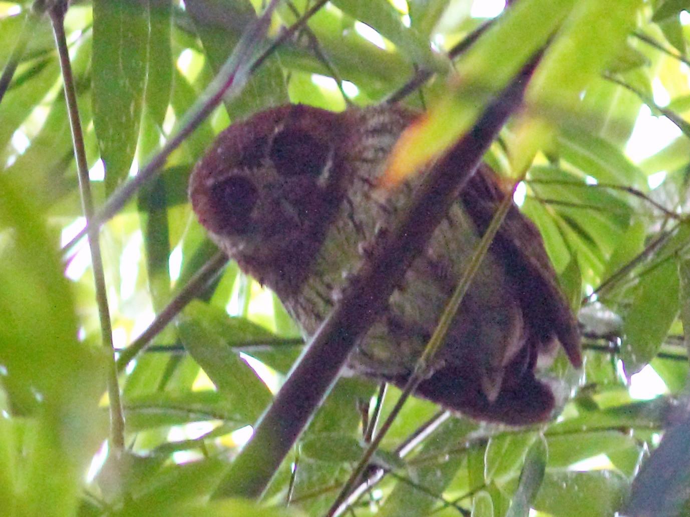 Puerto Rican Screech-Owl - Anonymous eBirder
