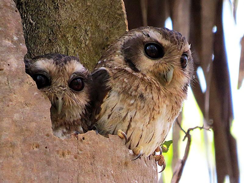 Bare-legged Owl - Greg Vassilopoulos