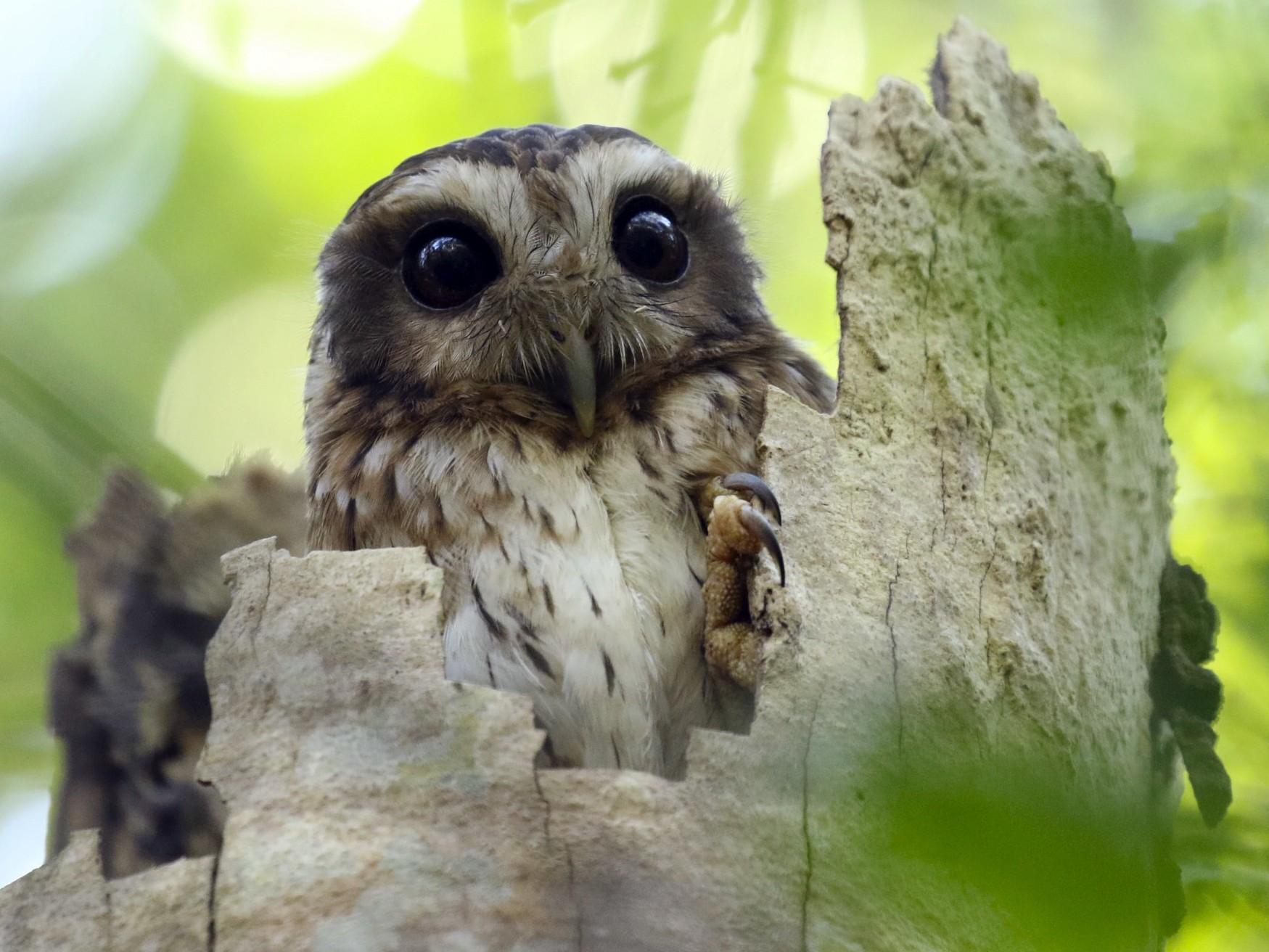 Bare-legged Owl - Knut Hansen
