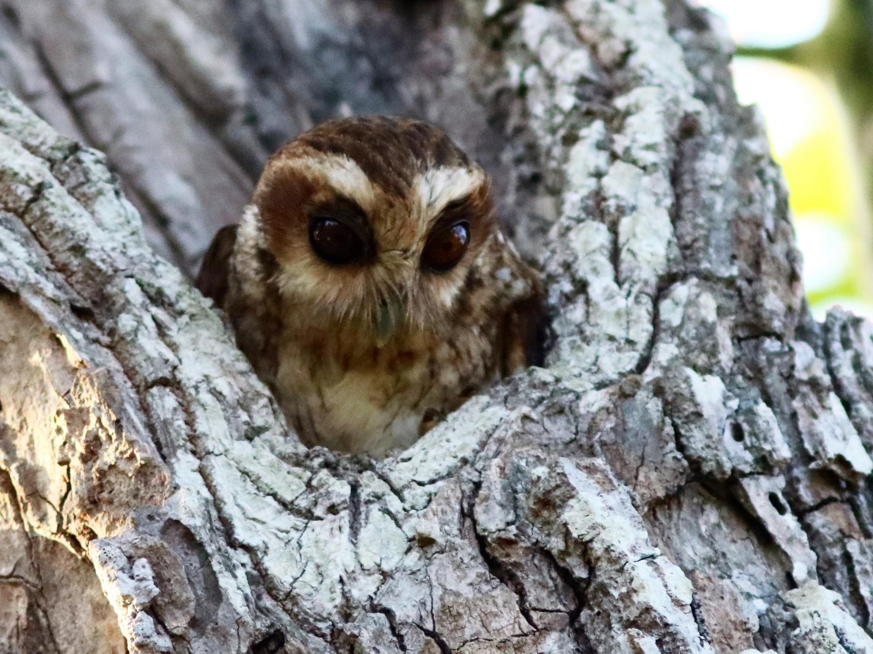 Bare-legged Owl - John Drummond