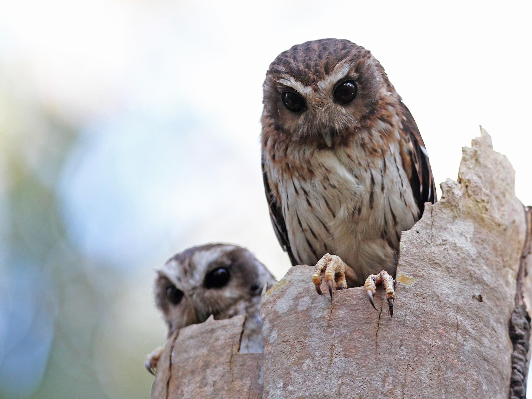 Bare-legged Owl - Christoph Moning