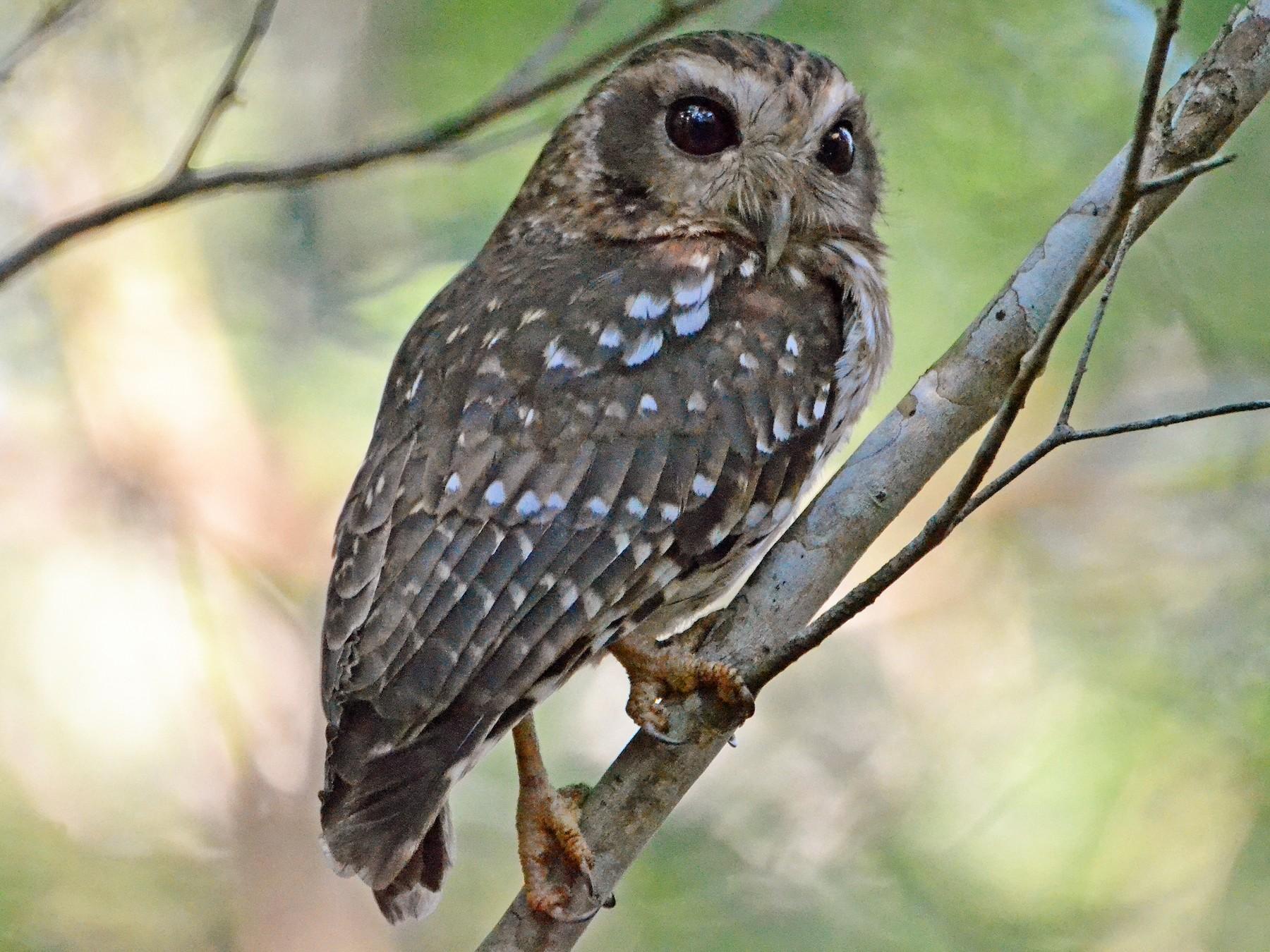 Bare-legged Owl - Michael J Good