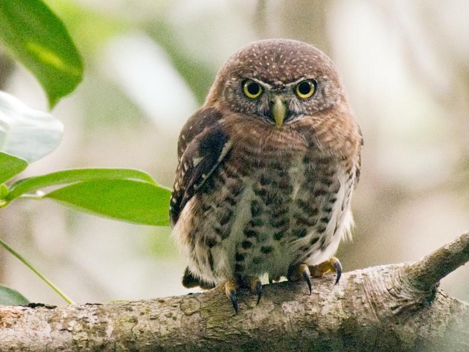 Cuban Pygmy-Owl - Jean-Sébastien Guénette
