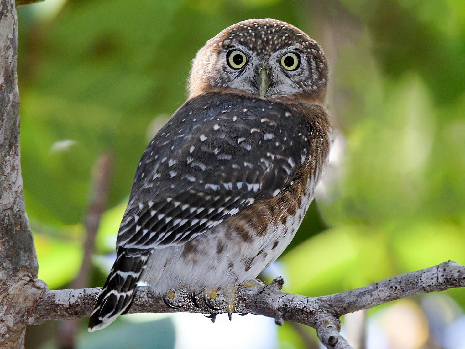 Cuban Pygmy-Owl - Arturo Kirkconnell Jr