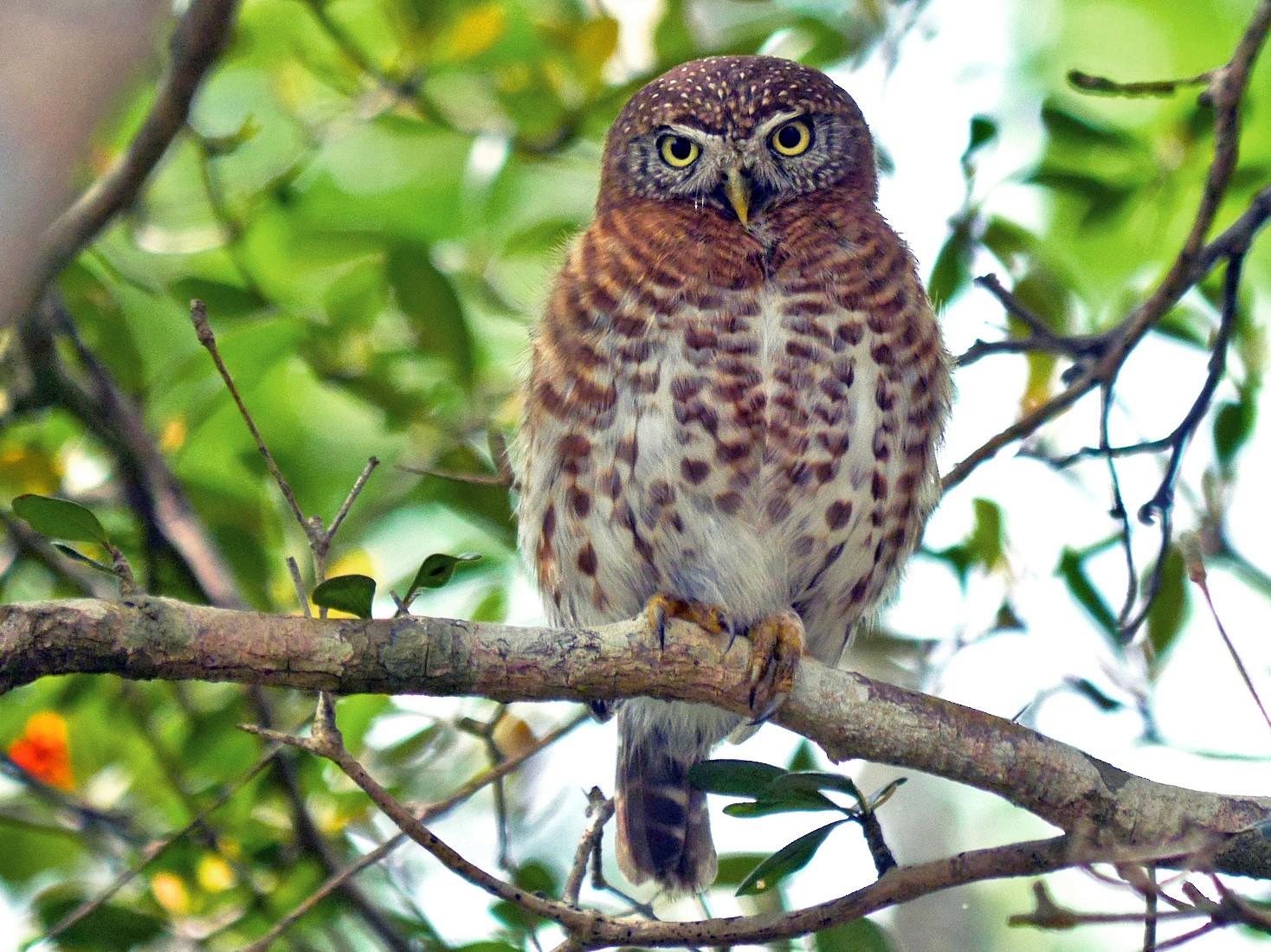 Cuban Pygmy-Owl - Grace Oliver