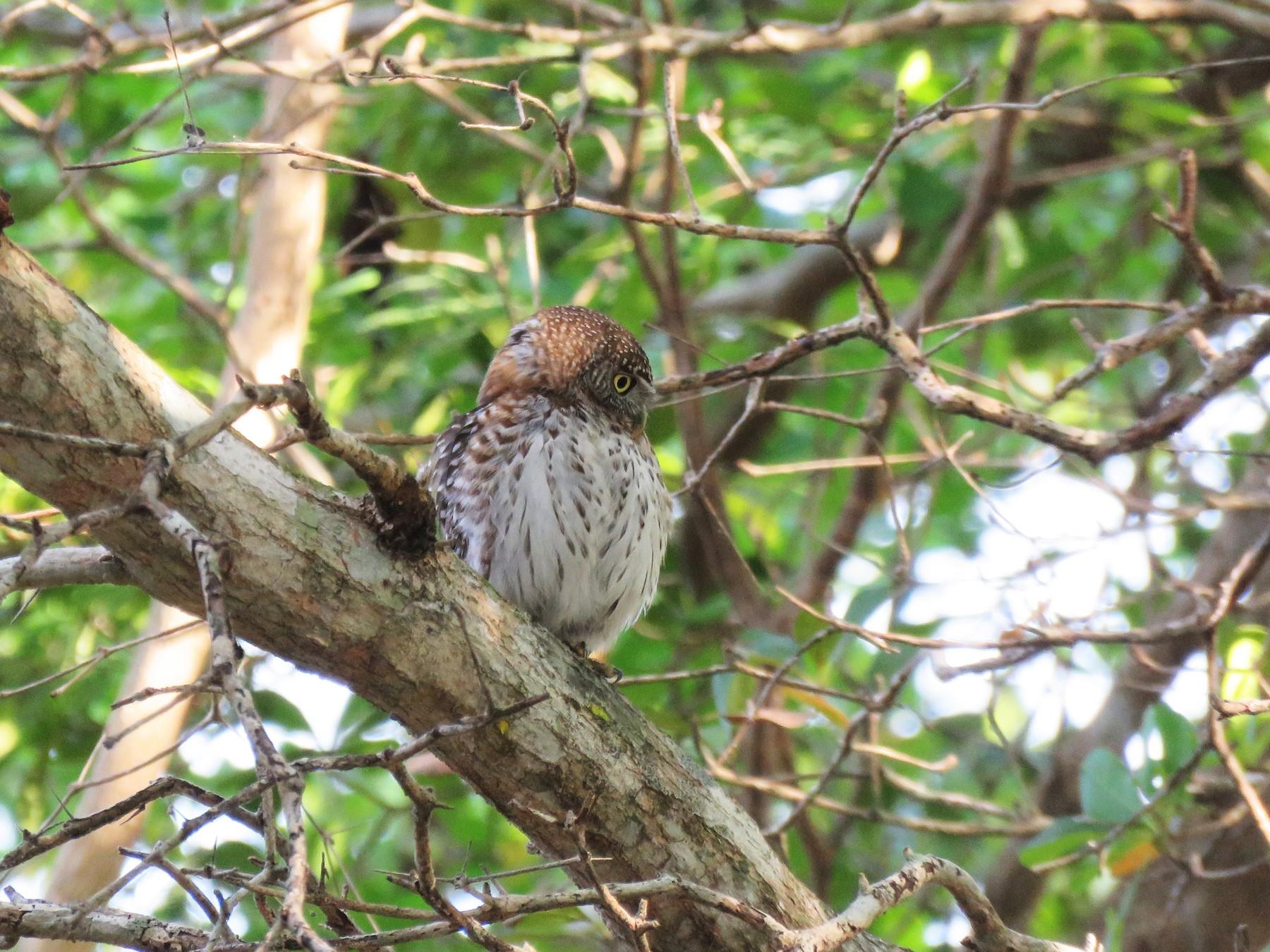 Cuban Pygmy-Owl - Thomas Hinnebusch
