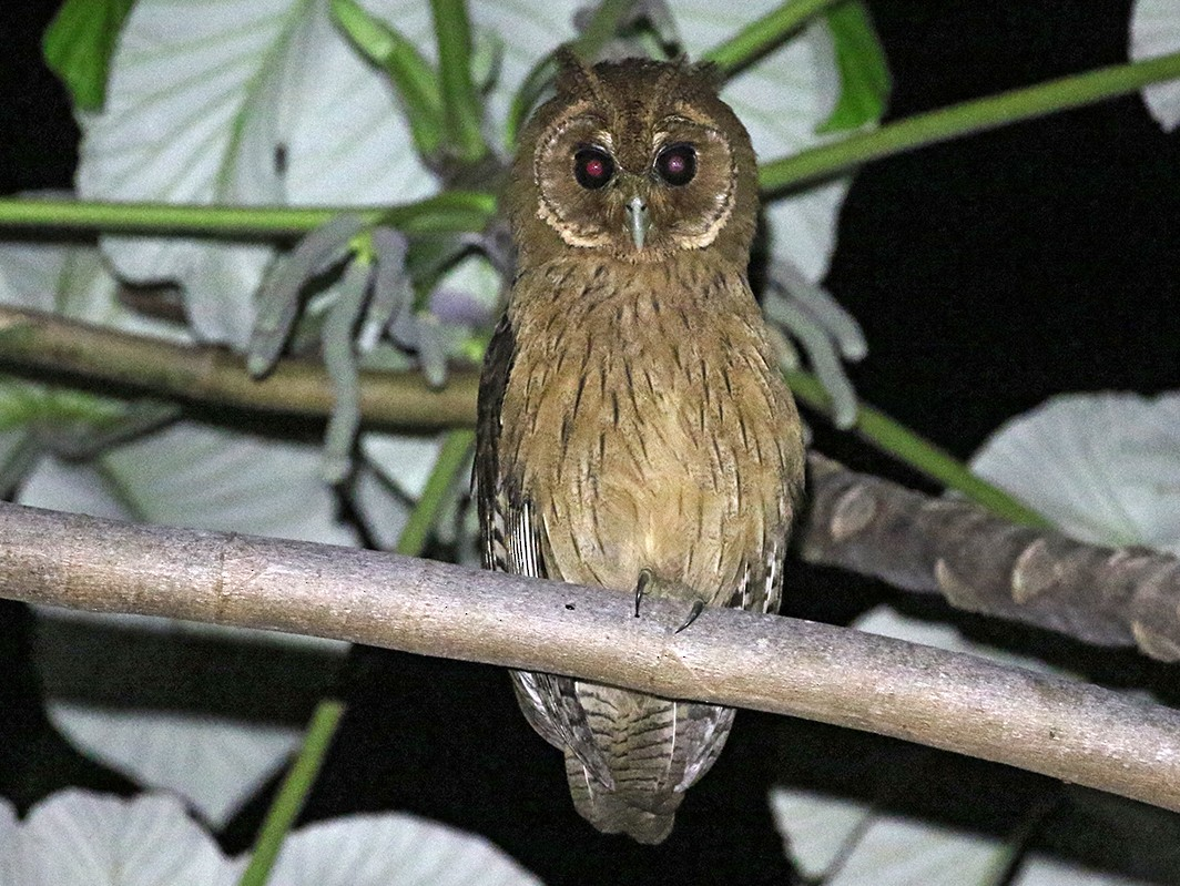 Jamaican Owl - Charley Hesse TROPICAL BIRDING