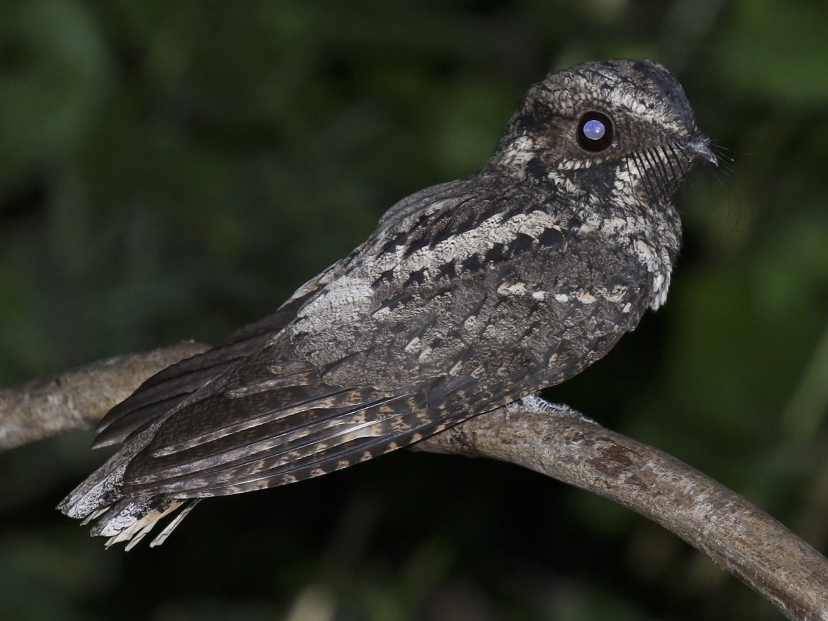 Greater Antillean Nightjar - Knut Hansen