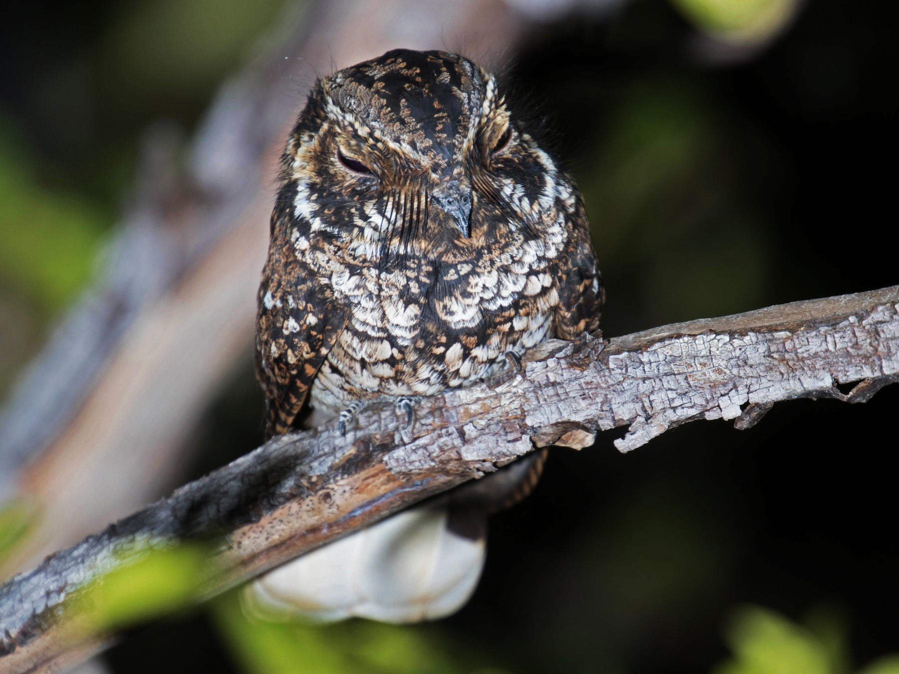 Puerto Rican Nightjar - Ross Gallardy