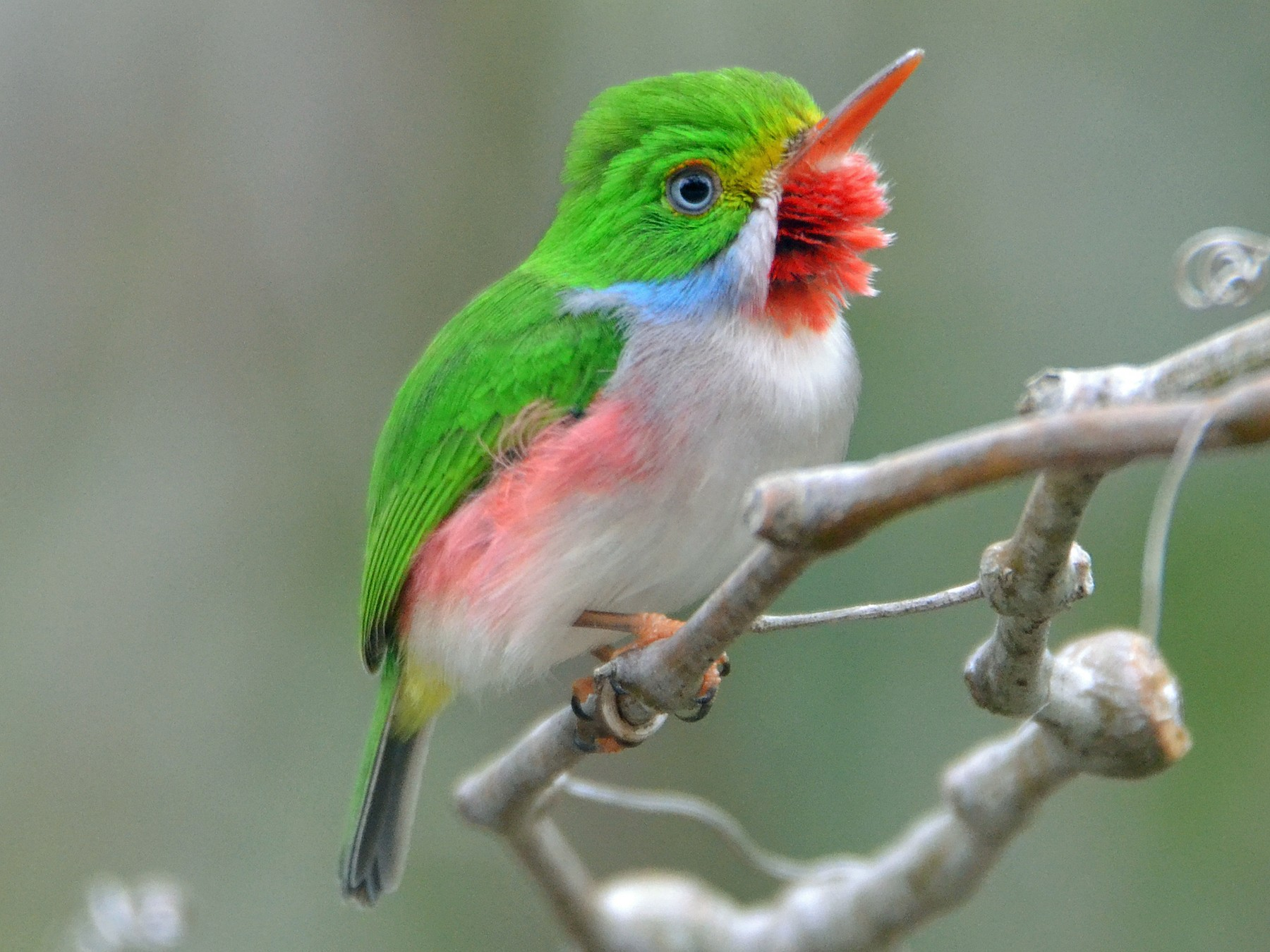 Cuban Tody - Michael J Good
