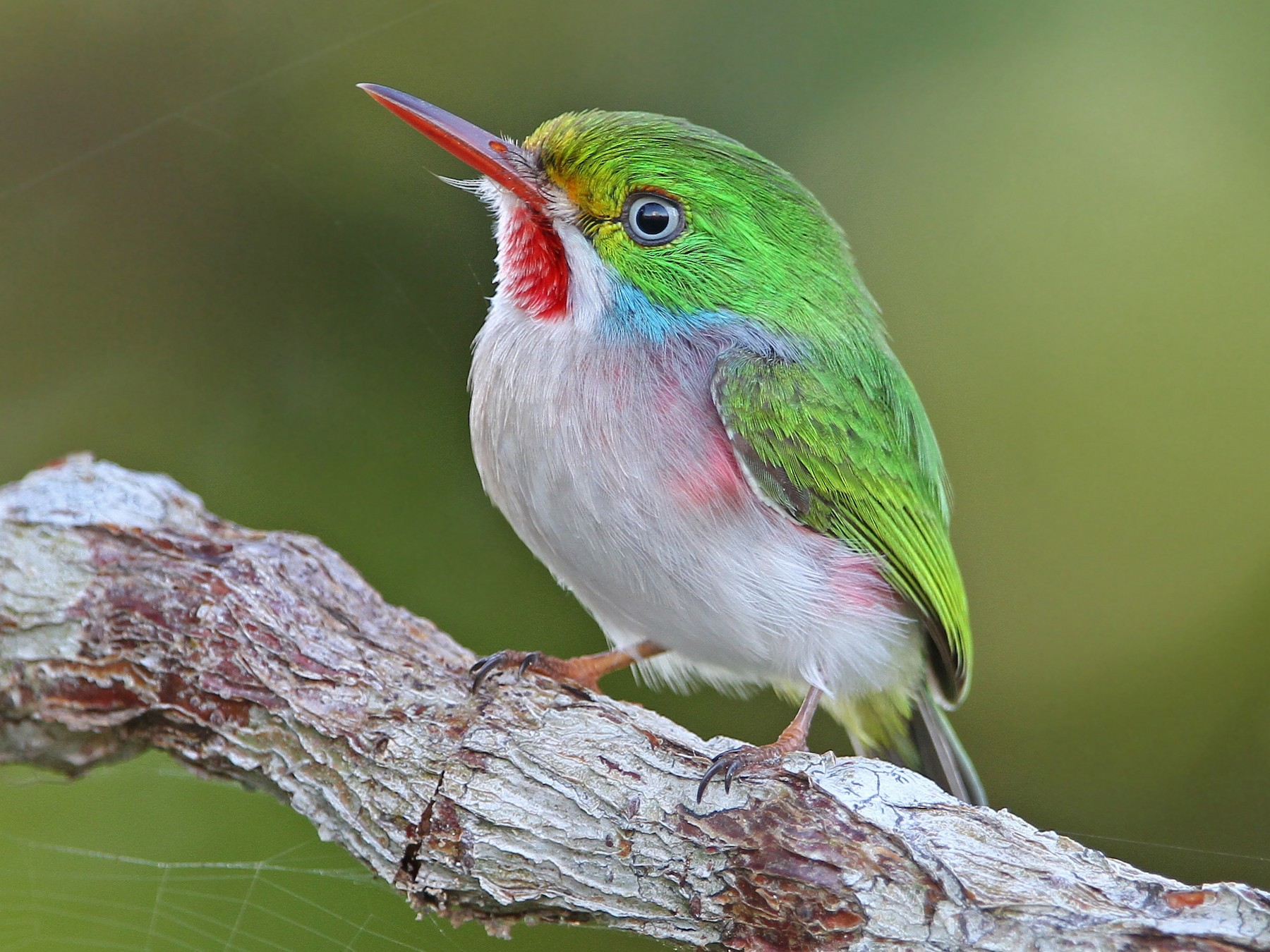 Cuban Tody - Christoph Moning