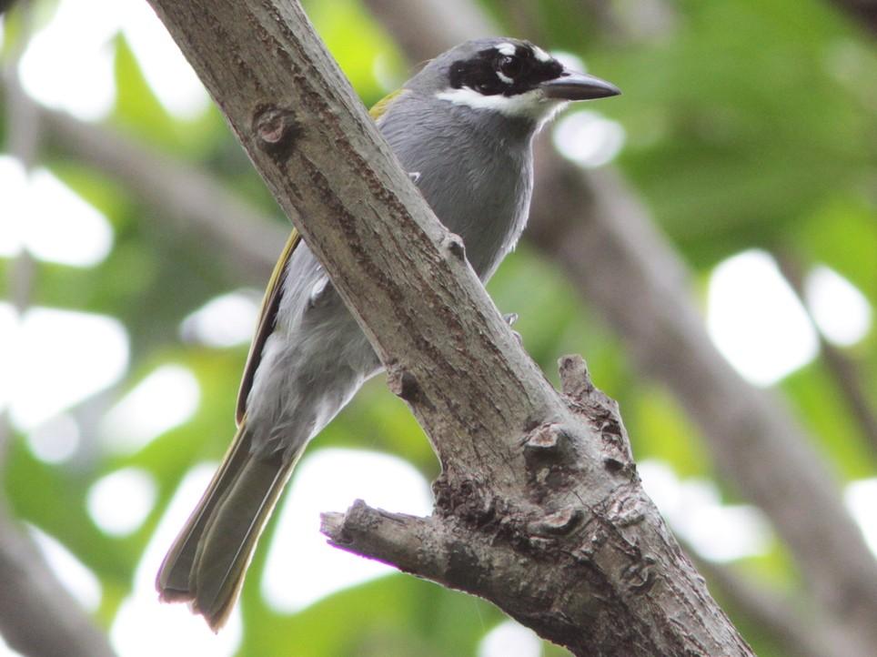 Gray-crowned Palm-Tanager - Richard Dunn