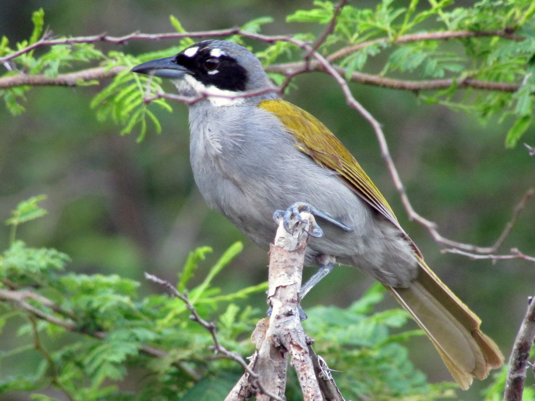 Gray-crowned Palm-Tanager - Sean Christensen