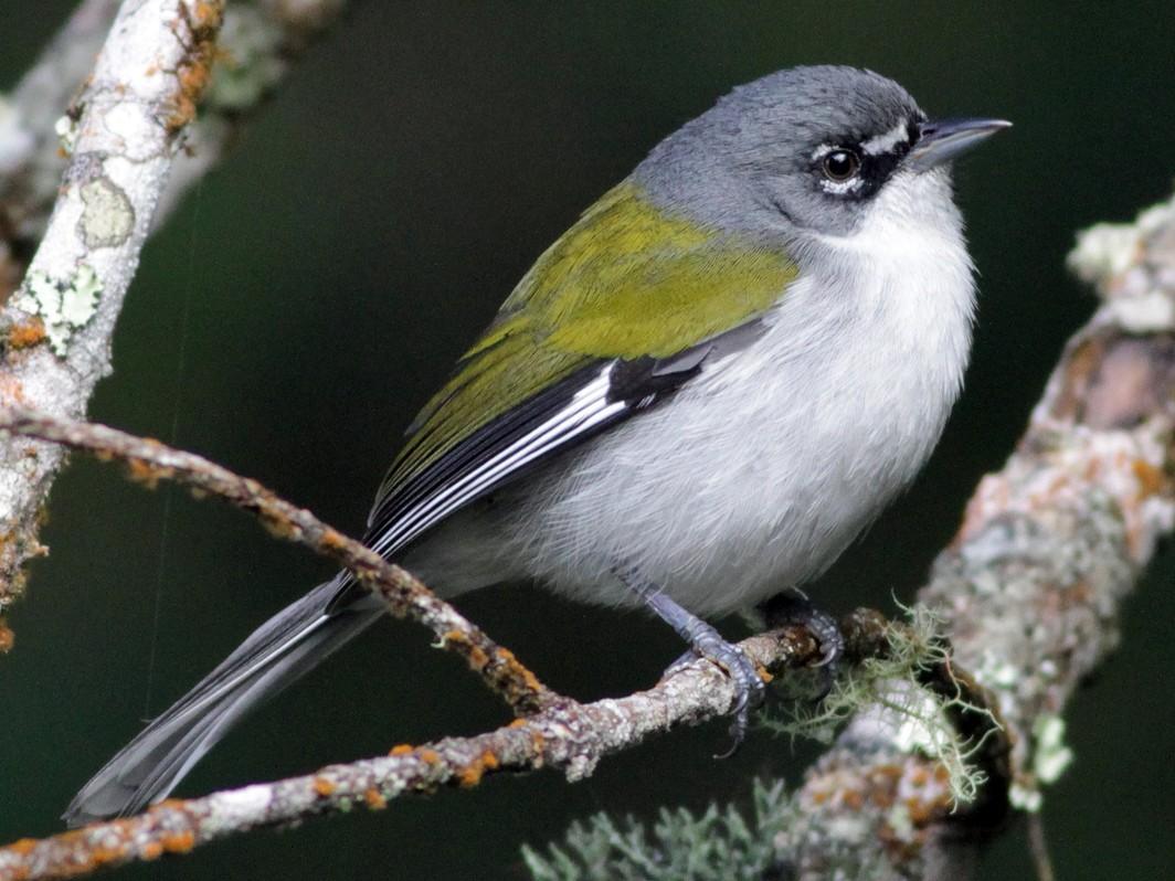 White-winged Warbler - Ian Davies