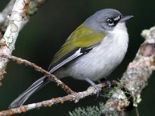 - White-winged Warbler