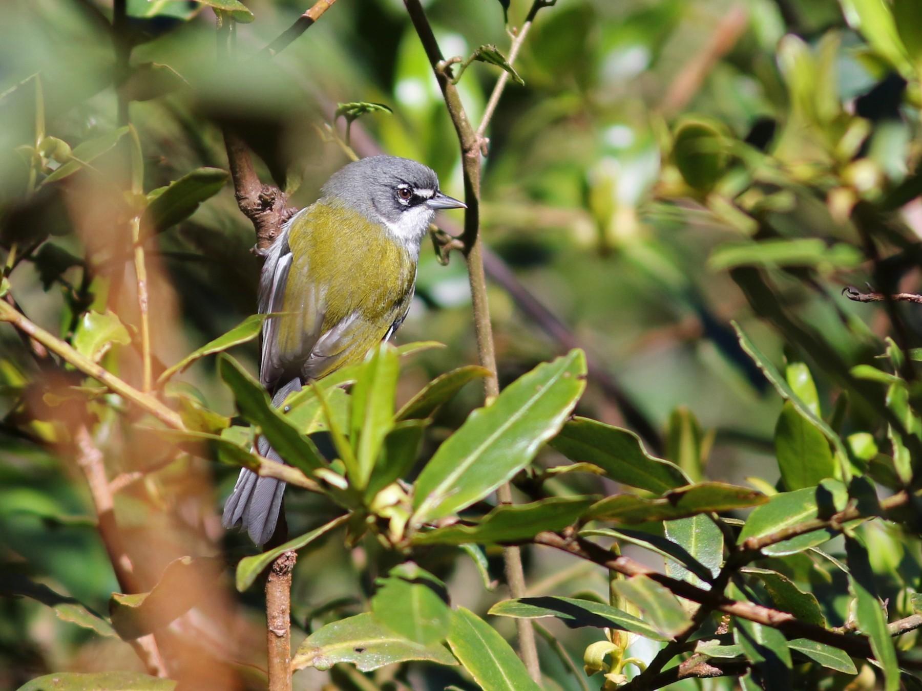 White-winged Warbler - John Sullivan