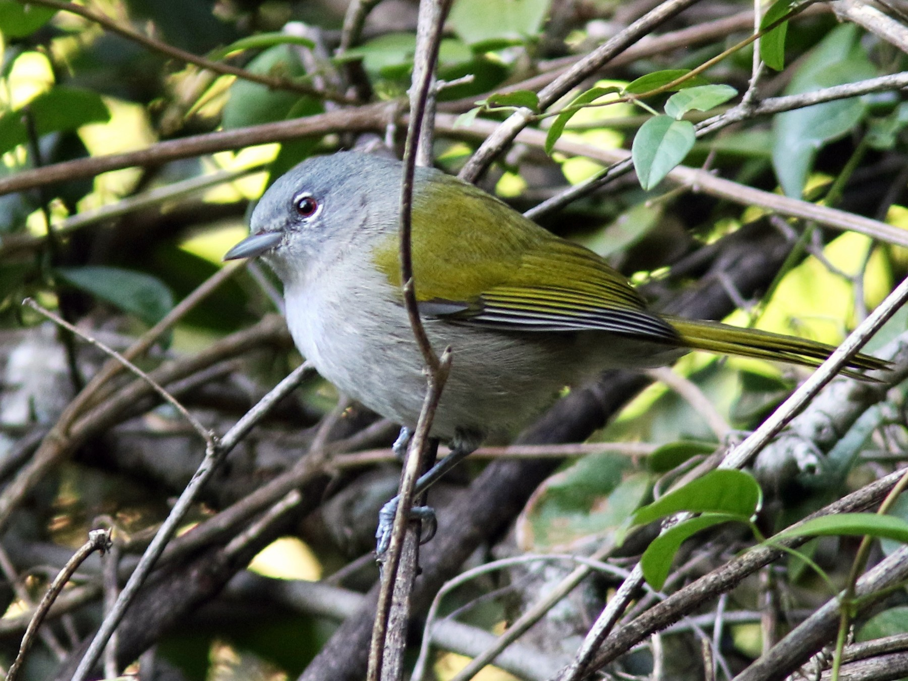 Green-tailed Warbler - Jim Tietz