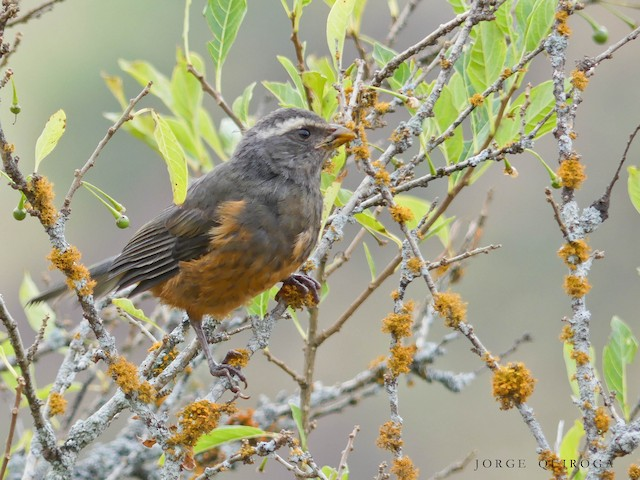 Rufous-bellied Mountain Tanager