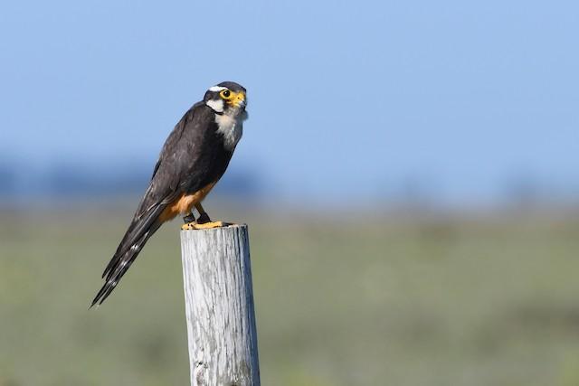Aplomado Falcon