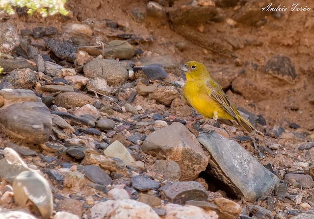 Monte Yellow-Finch