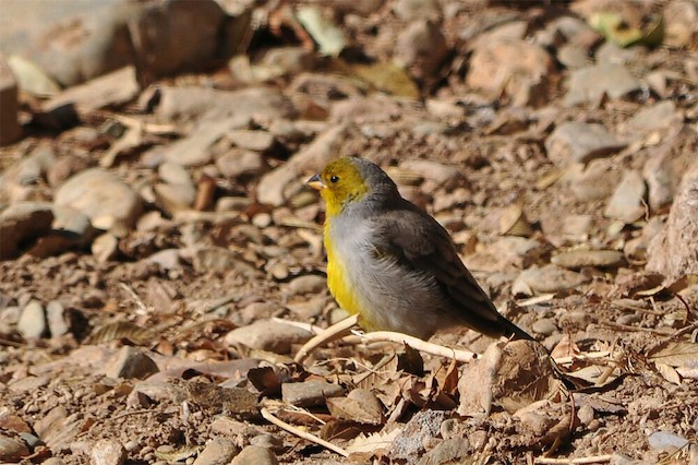Citron-headed Yellow-Finch