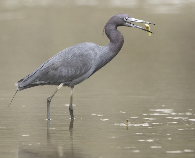 Little Blue Heron