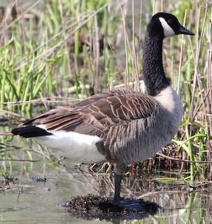Canada Goose, ML99292581