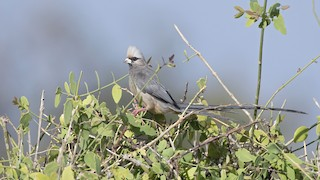 - White-headed Mousebird