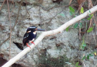 - Northern Silvery-Kingfisher