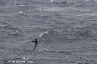 Long-tailed Jaeger, ML99549271