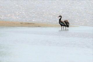 Black-bellied Whistling-Duck, ML99647781