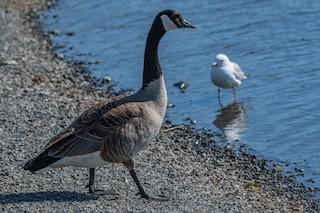 Canada Goose, ML99920891