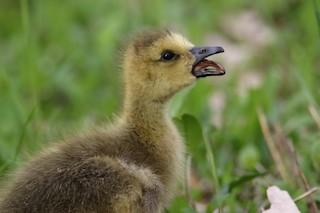 Canada Goose, ML99998741
